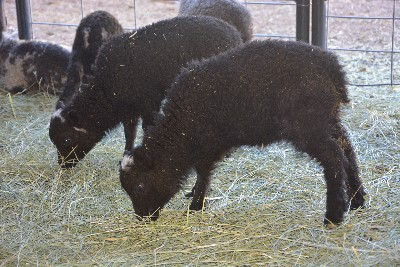 Duke #118 and Dutchess #119, Ram & Ewe Born 3/10/15, Sire:Campbell, Dam:Flower