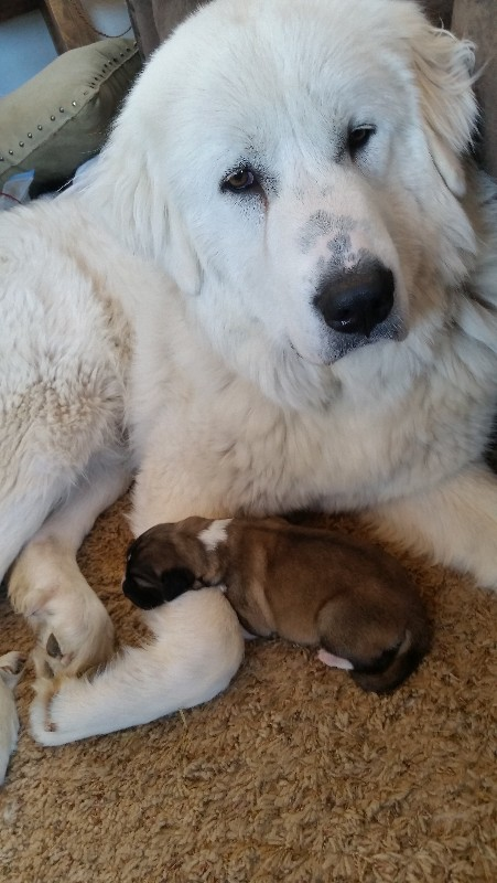 Half-day old puppy with Mom Samantha